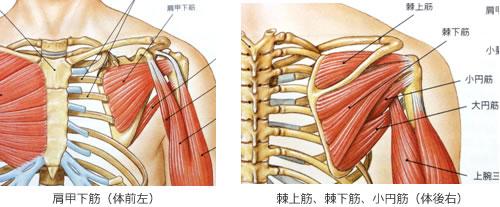 肩関節のしくみ